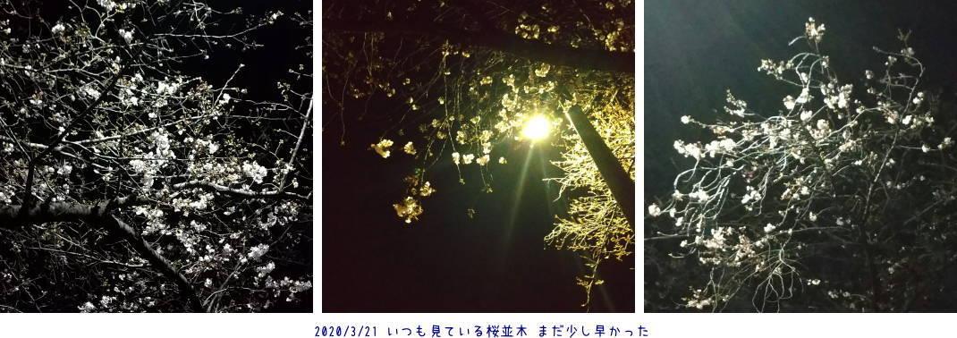 いつもの桜並木