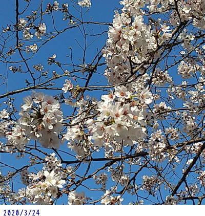 3/24今日の桜