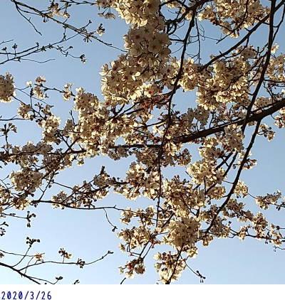 3/26 今日の桜